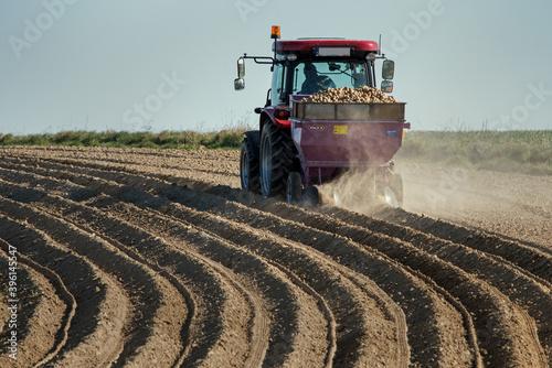 Fototapeta Sadzenie ziemniaków obraz
