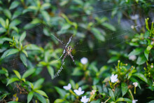 Black And Yellow Garden Spider -Argiope Aurantia On Web Against Green Natural Bush Background