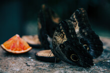 Close Up Butterflies Eat A Piece Of Orange