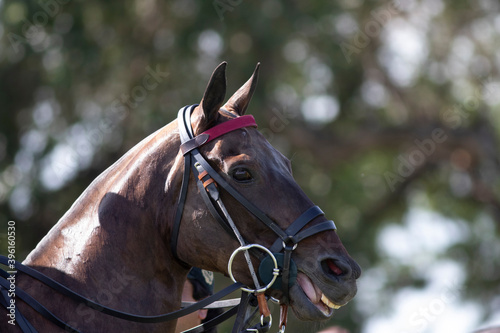 cabeza caballo mirando la jugada de polo Fototapet