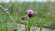 Tall Purple Thistle Growing In A Nature Reserve Next To A Wooden Footpath