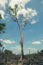 Burnt Trees In A Deforestation Of Native Vegetation Area At The Brazilian Amazon Forest.