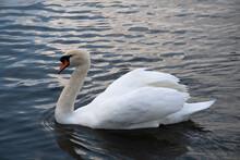 White Swan Swimming On Dark Water