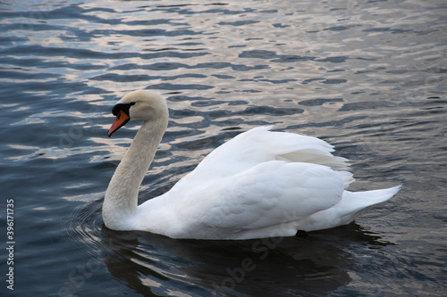 White swan swimming on dark water Fototapete