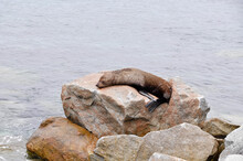 Sleeping Sea Lion On A Rock - ...