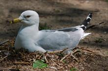 Ring Billed Gull Sitting On Nest Of Eggs In Spring