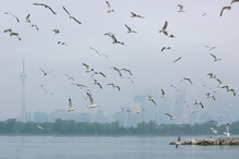 Swarming Seagulls Over Lake Ontario Toronto