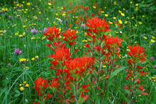 Indian Paintbrush In Meadow With Other Wildflowers