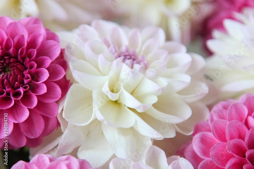 Obraz na plátně White and rosy dahlia flowers 10