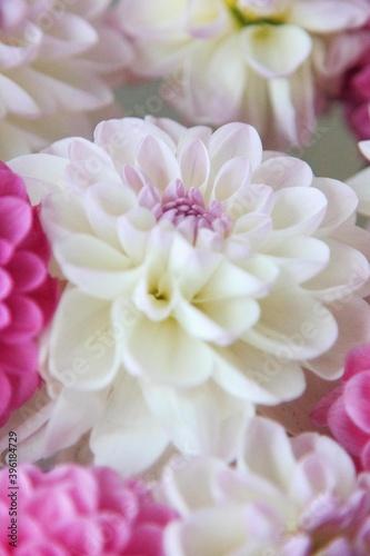Fotografie, Obraz White and rosy dahlia flowers 14
