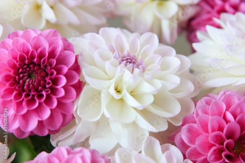 Fototapeta White and rosy dahlia flowers 16