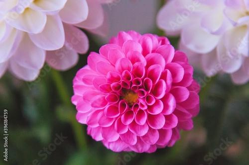 Obraz na plátně White and rosy dahlia flowers 17