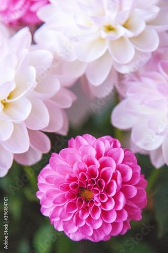 Fotografie, Obraz White and rosy dahlia flowers 18