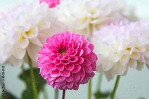 Fototapeta White and rosy dahlia flowers 21
