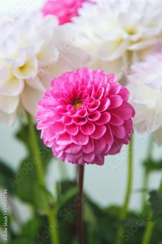 Obraz na plátně White and rosy dahlia flowers