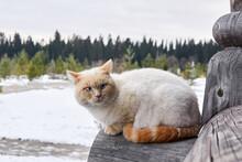 Creamy Blue-eyed Cat Sitting O...