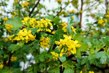 Tutsan Hypericum Herbal Plant Blossoming In A Field In Summer.