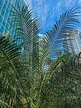 Palm With Highrise Buildings In Background.
