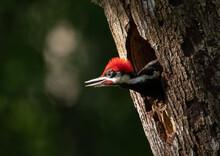 Pileated Woodpecker Portrait In Florida