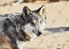 Mexican Gray Wolf Looking Towards Camera