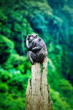 Black Chimpanzee Is Looking At Surround Forest