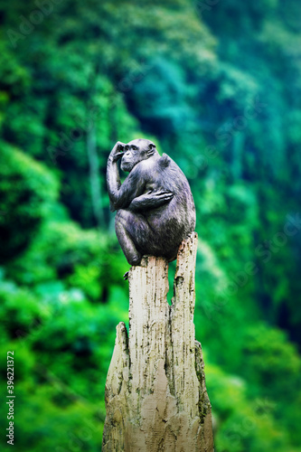 Black chimpanzee is looking at surround forest Poster Mural XXL