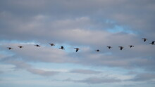 Beautiful Flight Patterns Of Canada Geese In Autumn Sky At Sunset