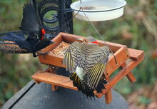 A Red-bellied Woodpecker And A...