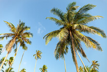Branches Of Coconut Palms Tree...