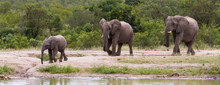 Panorama Of African Elephant Family Coming To A River To Drink In Kruger National Park, South Africa With Lush Green Bush Background