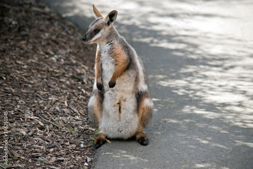 the yellow footed rock wallaby is standing on its hind legs Canvas Print