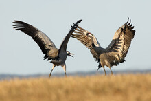 The Common Crane (Grus Grus), Also Known As The Eurasian Crane While Dancing. A Pair Of Large European Cranes Dance On The Horizon.
