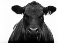 New Zealand Angus Beef Cow