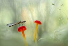 Dragonfly On Red Mushroom