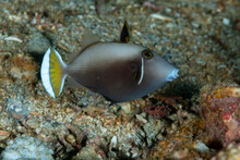 Flagtail Triggerfish Sufflamen Chrysopterum