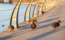 Ducks Walk Along The River Emb...