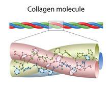 A Small Portion Of Collagen, Colored To Highlight The Three Chains