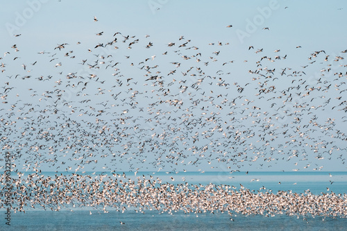 Fotografia, Obraz Flock of flying seagulls in the sky over the blue sea with floating seagulls