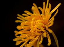 Yellow Chrysanthemums In Full ...