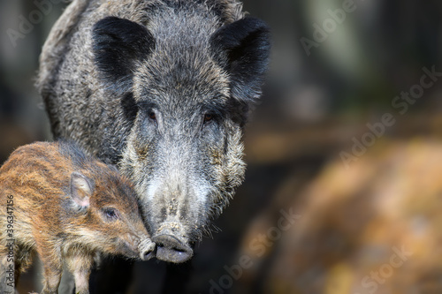 Obraz na plátně Cute swine sus scrofa family in dark forest