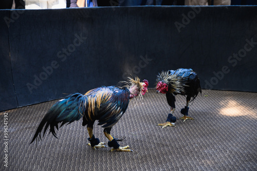 Two fighter cock in Arena fighting,in Thailand. Fototapet