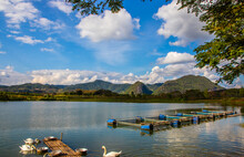 Swans By A  Lake In Chiang Rai...