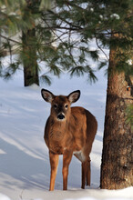 Whitetail Deer In Winter Forest