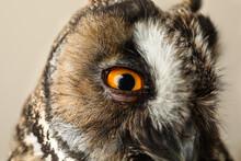 Beautiful Eagle Owl On Beige B...