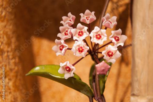 Obraz Kwiat Hoja 2018 - fototapety do salonu