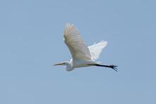 Great White Egret Flying