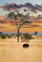 Wild African Ostrich In Tall, Dry, Africa Grass In Tanzania