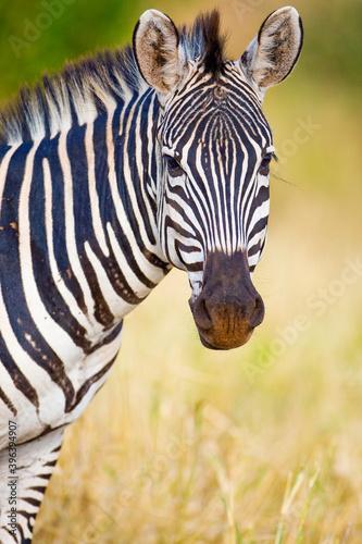 Fototapeta premium Wild Zebra outside in African savanna