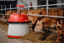 Automatic Robot For Feeding Cows With Hay. Farm Livestock Industry