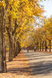 Beautiful and peaceful autumn scene with colorful yellow trees bordering a leaf strewn pathway with a few bicyclists visible